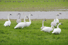 Migrating Trumpeter Swans Royalty Free Stock Photography