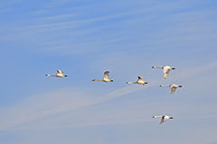 Migrating Tundra Swans in Flight Royalty Free Stock Photo