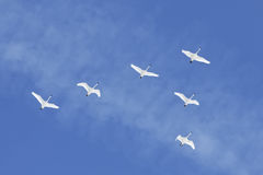 Migrating Tundra Swans Fly in Formation. Migrating Tundra Swans Cygnus columbianus fly in V- formation after a layover in Lancaster County Pennsylvania USA. This Stock Images