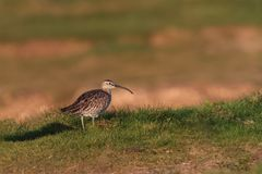 A migrating Whimbrel, wader / shorebird, Numenius phaeopus, UK. A migrating Whimbrel, wader / shorebird, Numenius phaeopus, on a grass slope, by the seashore Stock Image