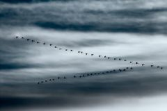 Migrating whooper swans. Flock of Whooper Swans dramatic evening sky Royalty Free Stock Photos