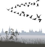 Migrating wild geese of the country Stock Photo