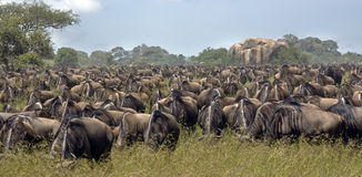 Migrating wildebeest Royalty Free Stock Photography