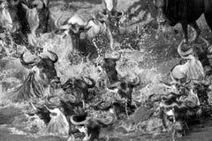Migratioin van Wildebeest in Mara rivier Royalty-vrije Stock Fotografie
