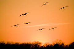 Migration. Silhouettes of flying sandhill cranes with sunset in the background Royalty Free Stock Photos