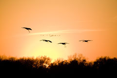 Migration. Silhouettes of flying sandhill cranes with sunset in the background Royalty Free Stock Images