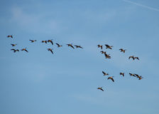 Migration - 2. A flock of canada geese in flight on a sunny autumn day royalty free stock images