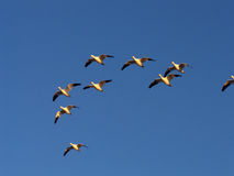 Migration. Migrating Snow Geese  in the Bosque del Apache National Wildlife Refuge, Socorro, NM Royalty Free Stock Image