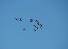 Migration. A flock of canada geese in flight stock photography