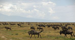 Migration of the antelopes gnu and zebras. Great migration of the antelopes gnu (wildbeast)  and zebras in the Serengeti Royalty Free Stock Photos