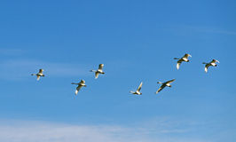 Migration birds. Stock Photo