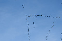 Migration of birds Royalty Free Stock Photos
