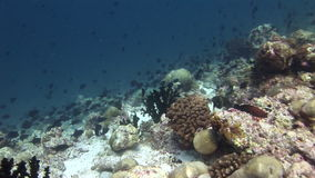 Migration of black fish on background corals underwater in sea of Maldives. stock footage