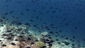 Migration of black fish on background corals underwater in sea of Maldives. stock video footage