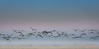 Migration d'oiseau Photos libres de droits