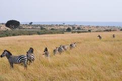 Migration de zèbres Photo libre de droits