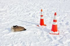 Migration duck drama due to snow storm Royalty Free Stock Image