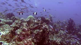 Migration of fish on background of clear seabed underwater of Maldives. stock footage