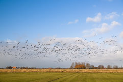 Migration of geese Royalty Free Stock Photography