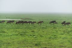 Migration of gnus stock photography