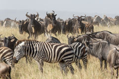 Migration herd of Wildebeest and Zebra in the Serengeti, Tanzania Stock Photo