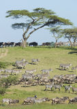 The Migration herds in the Ndutu area, Tanzania Royalty Free Stock Image