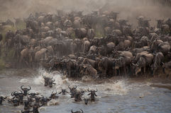 The migration journey of the gnus Royalty Free Stock Photography