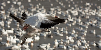 Snow geese Stock Photos