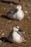 Snow geese fowl Royalty Free Stock Image