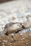 Snow goose fowl Stock Image