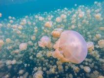 Migration von goldenen Quallen im Jellyfish See stockfoto