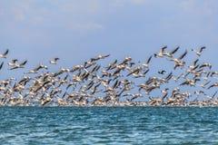 Migration von Pelikanen Lizenzfreie Stockfotos