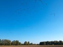 Migration of wild ducks Royalty Free Stock Photos