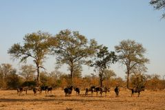 Migration of wildebeest Royalty Free Stock Images