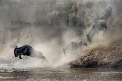 Migration of wildebeest Royalty Free Stock Image