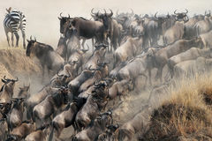 Migration of wildebeest Stock Photo