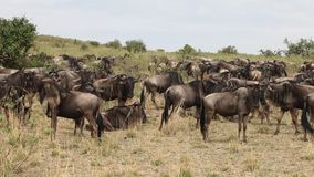 Migration Of Wildebeest stock video