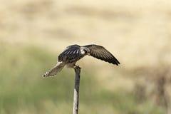 Migrationsfalke verbreitete Flügel auf Stumpf in der Natur Lizenzfreie Stockfotografie