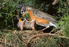 在巢的美国知更鸟(画眉类migratorius)哺养的刚孵出的雏 免版税图库摄影