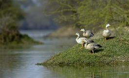 Migratory Bar-headed Geese seen at bharatpur royalty free stock photography