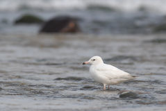 Migratory bird,black-tailed gull. Stock Image