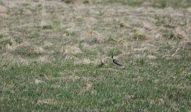 Migratory bird Chibis Royalty Free Stock Photo