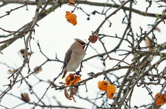 A migratory bird Royalty Free Stock Photos