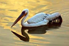 Migratory bird on the lake water. Migratory bird on the lake water of Gujarat-India during the sunset stock photo