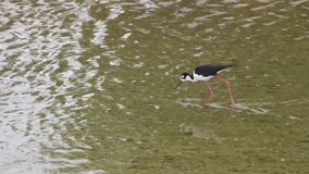 Migratory Bird Wades  and forages in the Urban Concrete Los Angeles River. Migratory Bird wades and forages in the flowing Urban Concrete Los Angeles River, with stock video