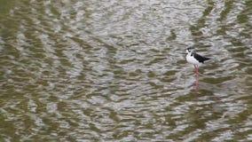 Migratory Bird Wades in the Urban Concrete Los Angeles River. Migratory Bird wades in the flowing Urban Concrete Los Angeles River stock video footage