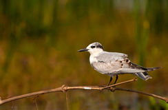 Migratory bird - Whiskered Tern. A Whiskered Tern perched on a twig at Chilika lake Stock Photo