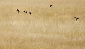 Migratory Birds Stock Image