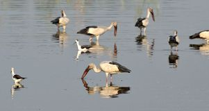 Migratory birds came to Bhopal. First flock of migratory birds Open bill stork seen in Kaliasot reservoir in Bhopal, India. Many beautiful birds from distinct Royalty Free Stock Image