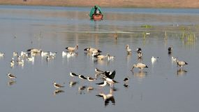 Migratory birds came to Bhopal. First flock of migratory birds Open bill stork seen in Kaliasot reservoir in Bhopal, India. Many beautiful birds from distinct Stock Image